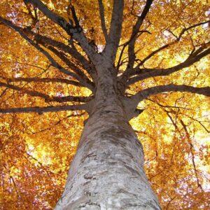 Gli alberi monumentali del Mugello